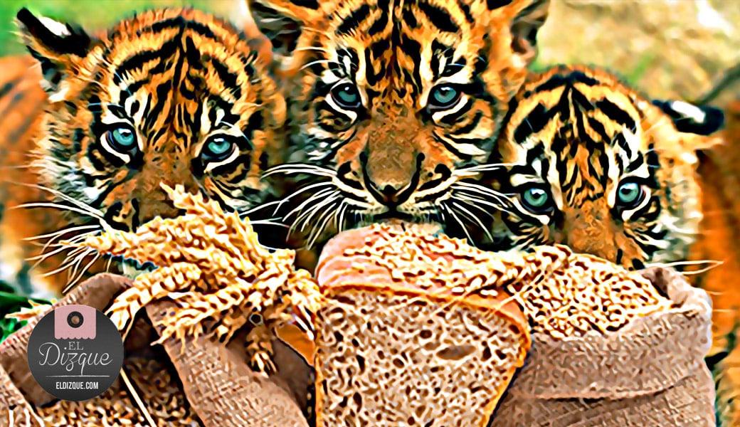 Descubren que el trigo causa depresión en los tigres 1