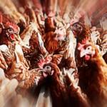 Advierten sobre el peligro de una rebelión de pollos 3