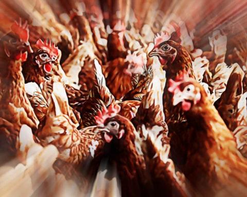 Advierten sobre el peligro de una rebelión de pollos 5